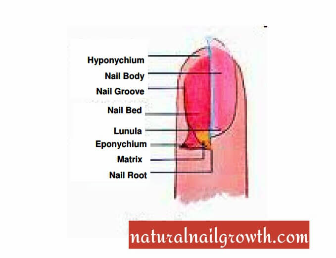 Nails Anatomy, Nail Structures, Nail Growth And Patterns