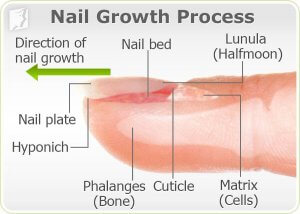 Why Does Typing Stimulate Nail Growth
